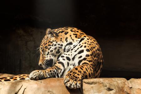 amazon rainforest: Closeup portrait of jaguar or Panthera onca a predator from Amazon jungle in South America