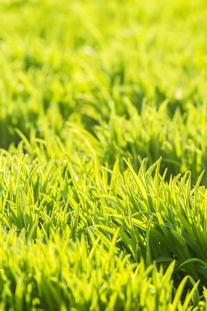 Background of fresh bright vibrant green grass photo