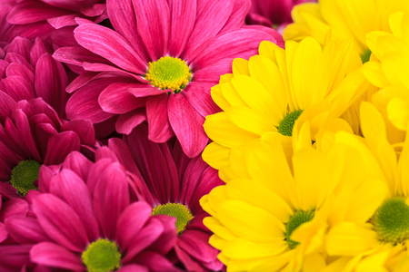 amaranthine: Spring purple and yellow chrysanthemum floral background Stock Photo
