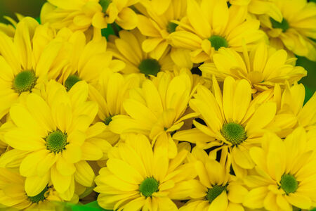 Yellow chrysanthemum floral background a close-up shot