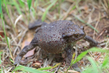 Defense reaction of a common toad Bufo bufo