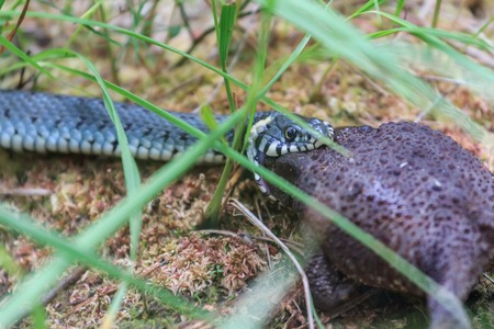 cold blooded: Grass snake catching common toad Bufo bufo