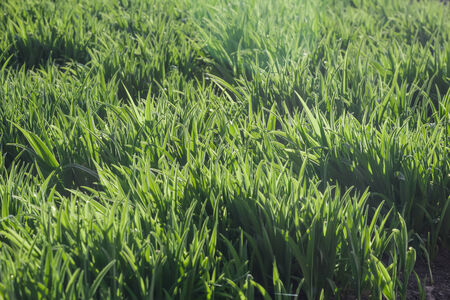 Background of vivid green grass in warm morning sunlight photo