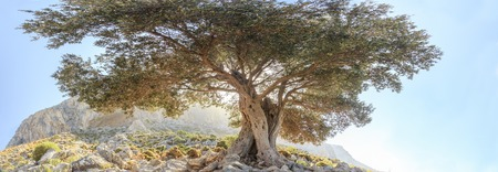 Ancient evergreen olive tree panoramic view Stock Photo
