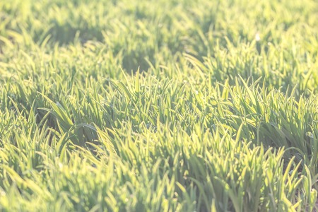 Background of the natural bright green lawn photo