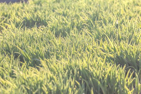Background of the natural fresh green grass photo