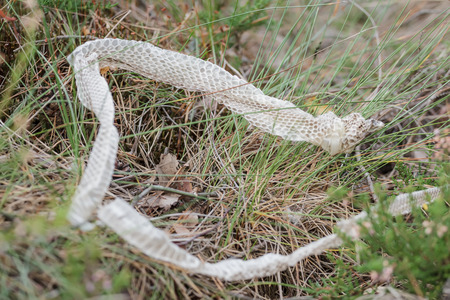 molting: Shed snake dry skin in a nature