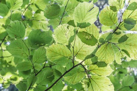 corylus: Green leaves background of the Corylus avellana