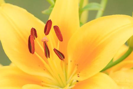 Flor amarilla del lirio brillante un tiro macro