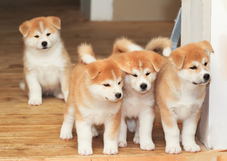 Four two months old puppies of Japanese akita-inu breed dog Archivio Fotografico