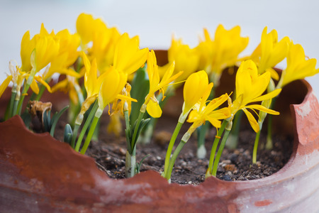 croci: Golden crocuses with opened flowers in a garden pot Stock Photo