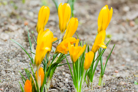 croci: Golden crocuses with closed flowers in spring