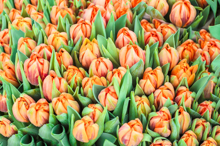 Multicolor fresh tulips buds and leaves spring background