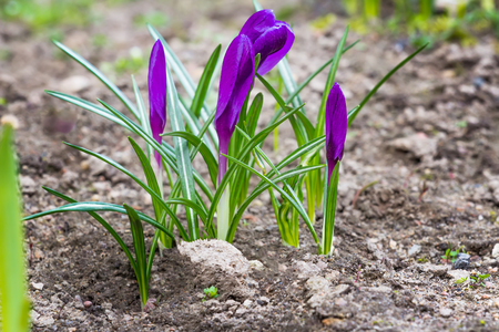 croci: Purple crocuses with closed flowers in spring