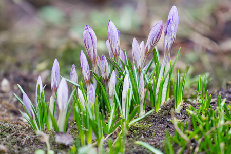 croci: Violet crocuses with closed flowers in spring