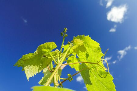 appearing: Appearing of flower buds on grape vine young shoots in summer Stock Photo