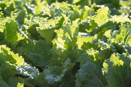 potherbs: Background of growing green lettuce plants on open air vegetable garden bed