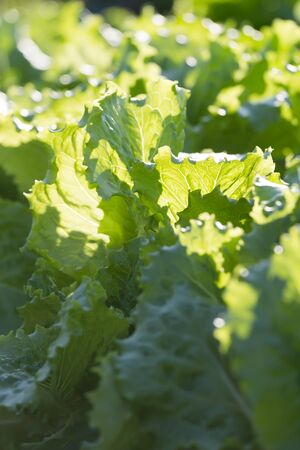 potherbs: Background of growing lettuce vegetable greens on outdoors vegetable garden bed