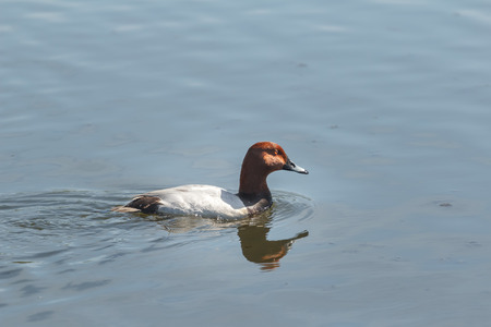 Adult male common pochard or Aythya ferina is floating and looking for food