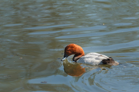 aythya ferina: Adult male common pochard or Aythya ferina is swimming and looking for food Stock Photo