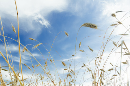 ripening: White cirrus clouds and blue sky above ripening barley cereal ears farm field