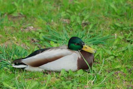 decoy: Adult male mallard wild duck or Anas platyrhynchos is resting on green grass