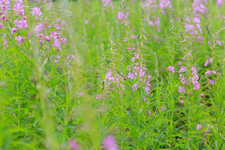 fireweed: Rosebay willowherb or fireweed flowering plants summer floral green and lavender background