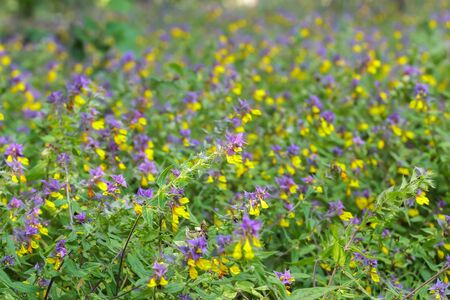 midsummer: Melampyrum nemorosum flowering plants midsummer floral background