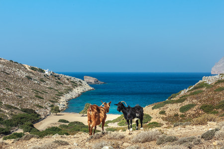 emborio: Domestic black and red goats are standing at dryland pasture and blue sea background on Kalymnos island Alexi beach in Greece