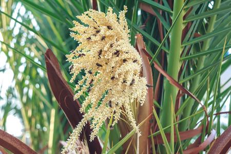 mass flowering: Pollination process of phoenix or date palm by domestic honeybees on Greek Kalymnos island