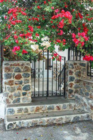 liana: Flowering bougainvillea liana plant over black metal forged wicket gate
