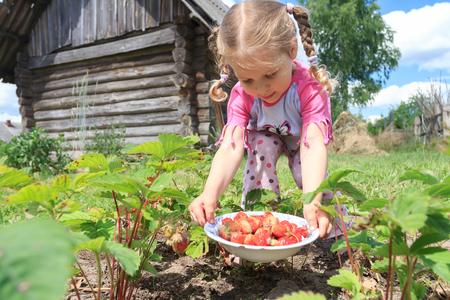 homegrown: Little blonde girl is harvesting home-grown garden strawberries on outdoor garden bed Stock Photo