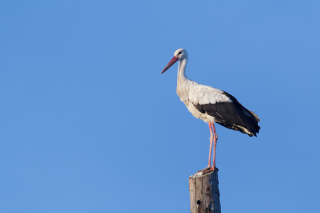 electricity supply: Adult white stork is having a rest on wooden electricity supply at azure sky background