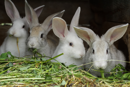 pretense: Four white domesticated rabbits being raised in farm outdoor hutch Stock Photo