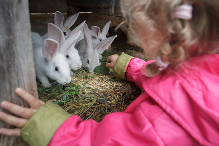 domestic animals: Blonde toddler girl is giving fresh grass to farm domesticated white rabbits in animal hutch