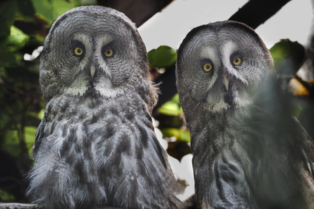 a large bird of prey: Close-up portrait of great grey owls pair is looking at camera