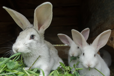 the hutch: Group of fur domestic rabbits are eating fresh grass in hutch on farm