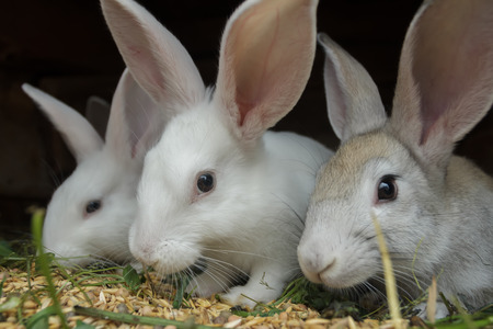 domestic animals: Group of meat domestic rabbits are eating cereal grain in farm hutch