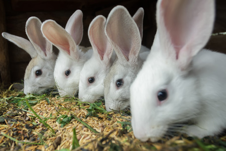 Row of domestic rabbits are eating grain and grass in farm hutch