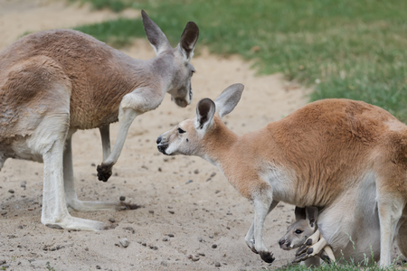 pouch: Red kangaroo or Macropus rufus family with joey  baby kangaroo is carried in female pouch