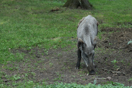 sus: Wild boar or Sus scrofa is digging soil for food in summer forest Stock Photo