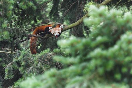 絶滅危惧種のレッサー パンダは、針葉樹の木の枝に横たわっている間その舌を見せています。