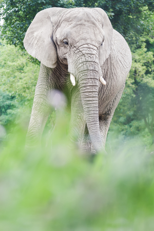 ranging: African elephant or Loxodonta africana is resting in relax pose during summertime