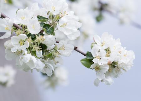 arbol cerezo: rama de manzano en flor con flores blancas y rosadas suaves