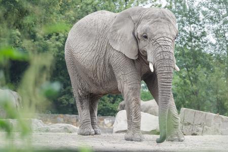 africana: Adult African elephant or Loxodonta africana full length portrait in relaxing pose