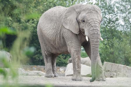 大人のアフリカ象または Loxodonta アフリカーナ全長縦リラックスのポーズ