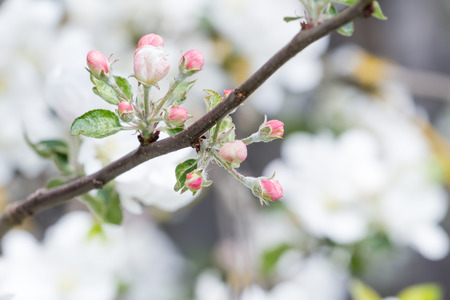 young tree: Apple tree in full bloom with pink flower unfolded buds Stock Photo