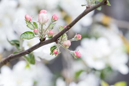 albero da frutto: melo in piena fioritura con fiori rosa dispiegato gemme Archivio Fotografico