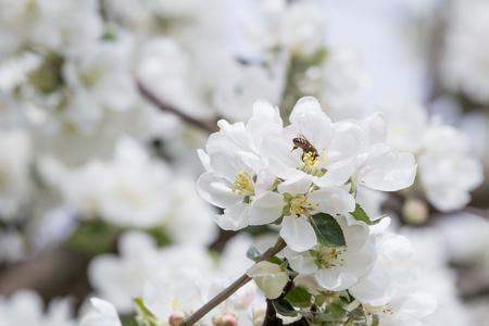 arbol cerezo: abeja de la miel durante el proceso de polinizaci�n resorte en la floraci�n de la manzana Foto de archivo