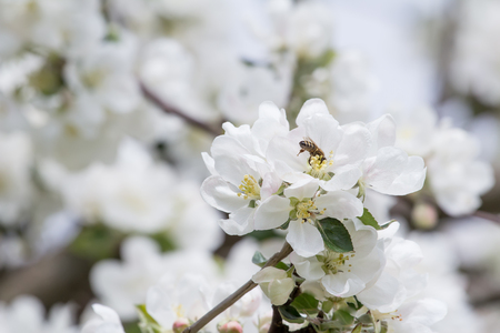 beautiful tree: Honey bee during spring pollination process on apple bloom Stock Photo
